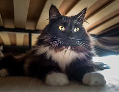 Under the Bed - Big Whiskers (Percy the cat) (Olympus OMD EM5II & mZuiko 17mm f1.8 Prime) (1 of 1) (markdbaynham) Tags: cat felines pet cute olympus omd em5 em5ii csc mirrorless evil mft m43 m43rd micro43 microfourthirds mz zd mzuiko zuikolic 17mm f18 prime