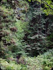 Treeeees (adolgov) Tags: california mendocino ocean pacificcoasthighway pch pacificocean