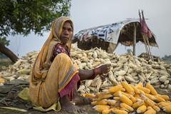 Farm worker Ram Jeti Chauhan preparing maize for mechanized shelling in Sirkohiya, Bardiya. (CIMMYT) Tags: nepal csisa cimmyt maize agriculture smallholder farmer mechanization asia