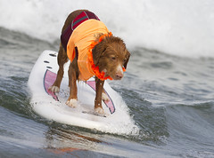 Leaner (San Diego Shooter) Tags: dog dogs portrait sandiego dogsurfing surfer surfing imperialbeach