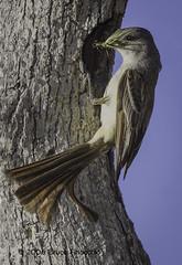 Ash Throated Flycatcher Brings Food To Nest Cavity (brucefinocchio) Tags: ashthroatedflycatcher nestcavity bringfood bringfoodtonest insect insectinbeak bird flycatcher ramrodranch montereycounty northerncalifornia