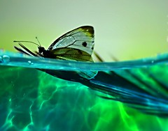 We don't know how STRONG we are until being strong is the only CHOICE we have. (natus.) Tags: butterfly macro water workart greenbackground survivor strong