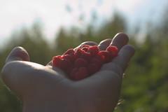 Raspberries (Sami Farin) Tags: nikon d3300 sigma50mmf14 rawtherapee tampere nature summer berry raspberry forest backlight