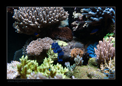 ALAIN1benitier6402 (kactusficus) Tags: marine reef aquarium alain captive ecosystem rcifal tridacna crocea benitier clam zoanthus colonial