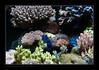ALAIN1benitier6402 (kactusficus) Tags: marine reef aquarium alain captive ecosystem récifal tridacna crocea benitier clam zoanthus colonial