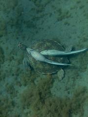 IMG_3728 (adrienweckel) Tags: adrienweckel cheloniamydas echeneisnaucrates poissons rémoracommun rémorarayé tortueverte