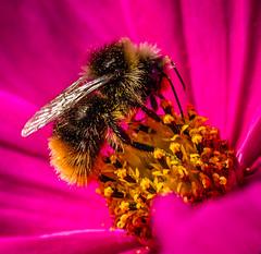 Feeding time (Superali007) Tags: canon canon7d ef100mmf28lisusmmacro macro bumblebee bee pollen pink