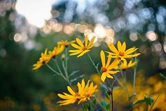 Flowers & bokeh (madx2000) Tags: flowers bokeh helios 442 russian lens manual color summer green