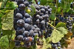 Fruto de los Viñedos del Valle de Guadalupe BC (fernandez1594) Tags: ensenada mediterraneo siembra valle viñedos mexico uvas grape