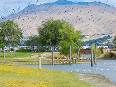 Burch Mountain and Starlings (starmist1) Tags: burchmountain starling wallawallapointpark wenatchee columbiariver sports recreation boating swimming facilities shelters scenic