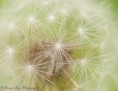 If dandelions were hard to grow, they would be most welcome on any lawn. ~Andrew Mason (Kitsanne) Tags: nikon d80 lensbaby composerpro softoptic kenkoextension dandelion seeds