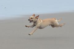 Flying (Safdave) Tags: manzanita action beach running