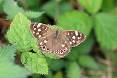 Speckled Wood (RiverCrouchWalker) Tags: speckledwood butterfly londonloop bramble woodland insect invertebrate august summer 2016 parargeaegeria