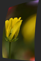 Twisted Flower Photograph (swong95765) Tags: beautiful angle bokeh color flower focus perspective sharp sideways unfolding yellow picture twisted gorgeous pretty reflection