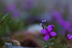 Alpine Flower (Epilobietum fleischeri) (Role Bigler) Tags: alpen alps berge berneralpen bernesealps blume canoneos5dsr eos5dsr gadmen natur nature schweiz suisse switzerland tamronsp45mmf18divcusdf013 bokeh bokehlicious flower tamron epilobietumfleischeri weidenröschen fleischersweidenröschen alpinewillowherb