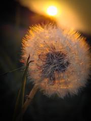 Blow Ball (Banga Attila) Tags: blowball sunset summer flower