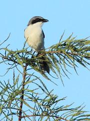 Loggerhead Shrike 02-20160818 (Kenneth Cole Schneider) Tags: florida miramar westbrowardwca