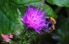 bee2 (gshaun12) Tags: bee bug flower fantasticnature nature macro macrodreams upclose art bokeh