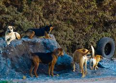 The dogs (christianhaward) Tags: perro perros mascotas callejero jauria streetsdogs dog dogs lokiingatcamara