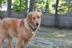 DSC_0213 (ghoulia) Tags: goldendoodle goldenretriever poodle labradoodle labrador rovercom dogvacay