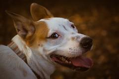 Follow me... (J. Love Photography) Tags: mydog pooch animal canine park texas austin outdoors nikon portrait dogportrait annabelle pet dog puppy