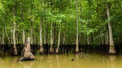 Swamps of Louisiana (Darren LoPrinzi) Tags: 2016 5d canon5d urban canon city la louisiana miii neworleans neworleanstrip2016 swamp water trees swampy green
