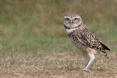Burrowing owl (ToriAndrewsPhotography) Tags: burrowing owl bokeh photography andrews tori