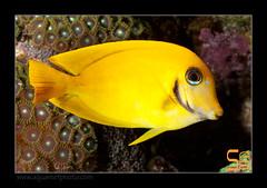 ALAIN1pyroferus6575 (kactusficus) Tags: marine reef aquarium alain captive ecosystem rcifal acanthuridae chirurgien surgeonfish tang acanthurus pyroferus