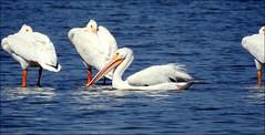American White Pelicans (Dodge Rock) Tags: americanwhitepelican pelican whiterocklake