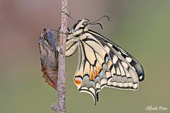The birth of the princess (alfvet) Tags: macro farfalle natura nature nikon sigma150 veterinarifotografi parcodelticino insetti lepidotteri ngc npc