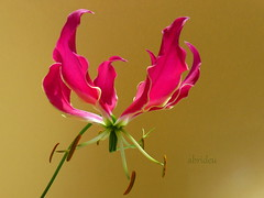 Gloriosa Lily (abrideu) Tags: abrideu panasonicdmctz20 depthoffield pink gloriosalily flower macro delicate plant indoor ngc