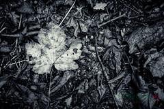 MCG_1037-2 (mikegreen78) Tags: britain british countryside forest leaf leaves stodmarsh woodland woods littlebourne england unitedkingdom gb spider web