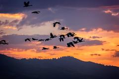 boise balloon clasic-09-01-16-7 (Ken Folwell) Tags: sunrise balloons geese orange idaho canon5dmkiii clouds boise outdoor sky