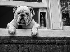 Day 2 (A r l e t t e (reloaded)) Tags: dog amsterdam prinsengracht bnw blackandwhite dogs