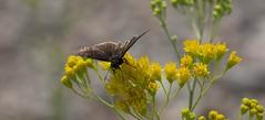True Pleasure (harefoot1066) Tags: asteraceae hymenothrix hymenothrixwislizeni transpecosthimblehead lepidoptera papilionoidea hesperiidae pyrginae erynnis erynnisfuneralis funerealduskywing