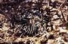 Echinofossulocactus violaciflorus RB0114 (Robby's Sukkulentenseite) Tags: cacti cactus crispatus doloreshidalgo echinofossulocactus fnrrb0114 guanajuato ka1244s kakteen kaktus mexiko rb0114 rb114 reise standort topxpflanze violaciflorus
