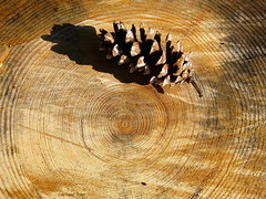 The Lonesome PIne (tripod_treker) Tags: pinecones pinetrees trees stumps rings cones olympuse918mmf4056zuikolens olympuse510