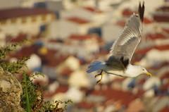 263 - Nazar (paspog) Tags: nazar portugal mouette bird nature outdoor
