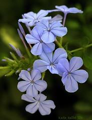 9-18-16 (358) Plumbago Macro (KatieKal) Tags: blueflower purple pumbago petal stamen macro canon60d canonmacrolensf28