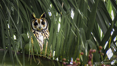 Búho Rayado - Pseudoscops Clamator (Andres Rodriguez FOTOGRAFÍA) Tags: búho rayado pseudoscops clamator