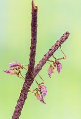 Idolomantis diabolica (antonello.fardella) Tags: idolomantisdiabolica idolomantis mantide mantis insetti macro insect neanide tre