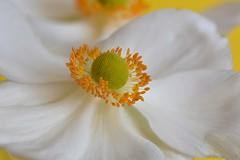 Anmone du Japon (Jourdheuil Clment) Tags: anmonedujapon bokeh flower macrophoto douceur flou tamine pistil clmentjourdheuil nikond7100 offemont franchecomt ptaleblanche whitepetal softness