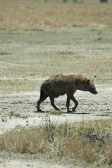 Walking hyena (jhderojas) Tags: masai mara kenia hyena