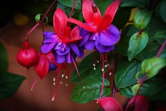 Fuschia (Jazpix) Tags: fuschia vignette purple petals stamens leaves red flower