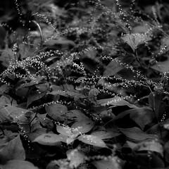 Thicket Details 016 (noahbw) Tags: captaindanielwrightwoods d5000 dof nikon abstract blackwhite blackandwhite blur bokeh bw depthoffield forest landscape leaves monochrome natural noahbw square summer woods