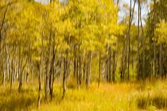 Walk in the Quakies (Karen McQuilkin) Tags: walkinthequakies icmsundanceutah karenmcquilkin icm sundanceutah golden