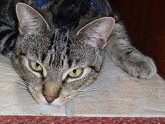 Masai ! (Mara 1) Tags: indoors tabby stripes black grey coat fur face eyes ears whiskers