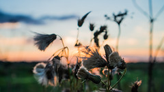 Demidovo (e.glasov) Tags: russia russiansoul moscowregion plant fields macro sony a6300 sunset      colours