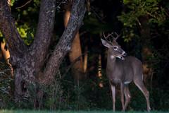 AreaEight (jmishefske) Tags: nikon halescorners d500 young whitnall 2016 september antler wildlife seven rack wisconsin park whitetail buck deer milwaukee