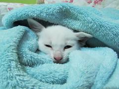 IMG_0790 (Azura / Nana) Tags: gatinho filhote kitten cat heterocromia blueeye greeneye gato gatobranco